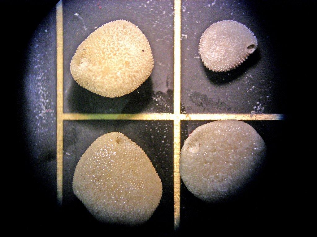D-PottsECORD-IODP-DCP-396-Heteropsammia-cochlea.jpg